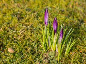 These crocuses are growing straight up!